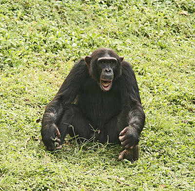 Uganda Photograph - Sitting Chimpanzee by Liz Leyden