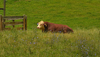 Photograph - Sitting Cow by Amber Summerow