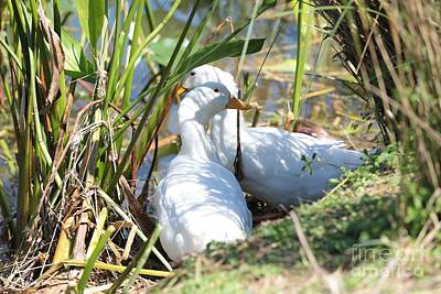 Photograph - Sitting Ducks by Carol Groenen