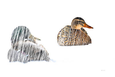 Birds Rights Managed Images - Sitting Ducks in a blizzard Royalty-Free Image by Bob Orsillo