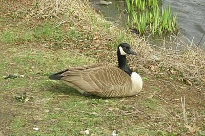 Photograph - Sitting Goose by Lucinda VanVleck