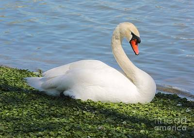 Photograph - Sitting Mute Swan by Carol Groenen