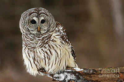 Sitting Pretty Barred Owl Art Print by Inspired Nature Photography Fine Art Photography