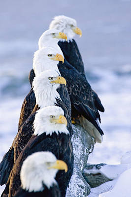Six Bald Eagles Perched In A Row On Art Print by Don Pitcher