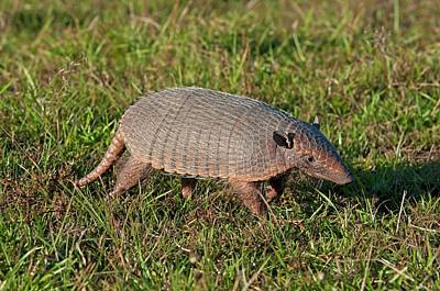 Armadillo Photograph - Six Banded Armadillo In The Pantanal by Tony Camacho