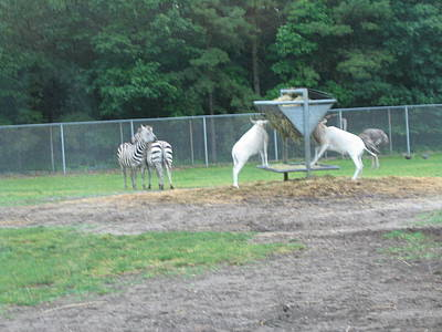 Sixflag Photograph - Six Flags Great Adventure - Animal Park - 121247 by DC Photographer