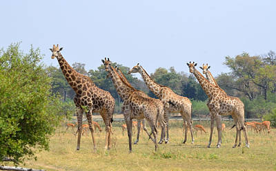 Photograph - Seven Stately Giraffes by Tom Wurl
