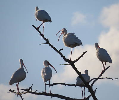 Photograph - Six Resting Ibis by Ellen Meakin