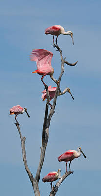 Photograph - Six Roseate Spoonbills On A Limb by Ruth Burke