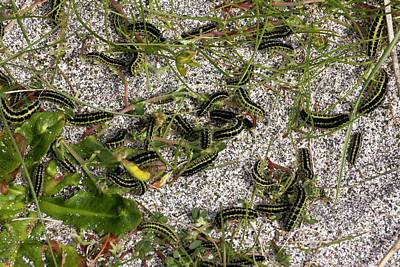 Burren Photograph - Six-spot Burnet Moth Caterpillars by Bob Gibbons
