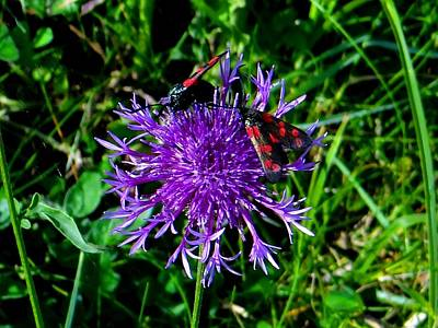 Photograph - Six Spot Burnet Moth by Keith Stokes