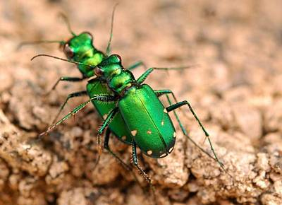 Six-spotted Tiger Beetle Mating Art Print by Janet Hawkins