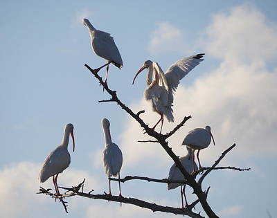 Photograph - Six White Ibis by Ellen Meakin