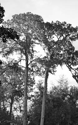 Photograph - Sixty Year Old Pines With Spanish Moss by rd Erickson