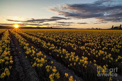 Skagit Daffodils Sunset Sunstar Art Print by Mike Reid