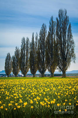 Skagit Trees Art Print by Inge Johnsson
