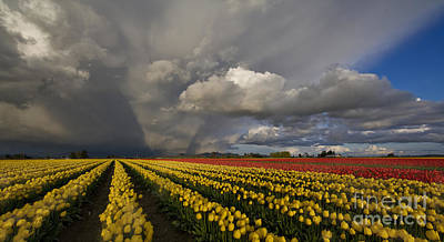 Tulip Photograph - Skagit Valley Storm by Mike Reid