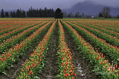 Photograph - Skagit Valley Tulip Field by Mark Kiver