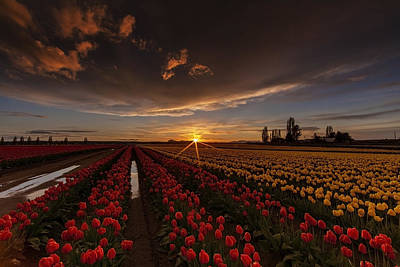 Photograph - Skagit Valley Tulip Sunset by Mike Reid