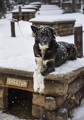 Photograph - Skeeter The Sled Dog  by Pam  Elliott