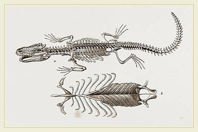 Alligator Drawing - Skeleton And Sternum Of Pike Nosed Caiman Or Alligator by Litz Collection