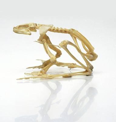 Frog Photograph - Skeleton Of A Frog by Dorling Kindersley/uig