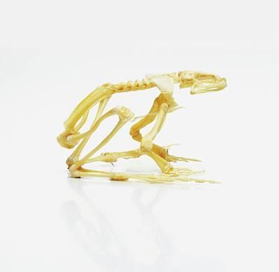 Bullfrogs Photograph - Skeleton Of African Bullfrog by Dorling Kindersley/uig