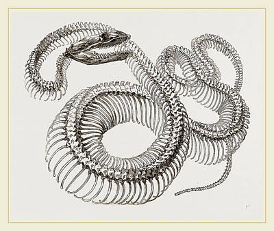 Boa Constrictor Drawing - Skeleton Of Boa Constrictor by Litz Collection