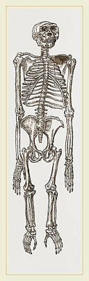 Chimpanzee Drawing - Skeleton Of Chimpanzee by Litz Collection