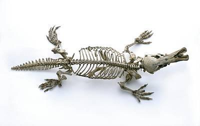 Directly Above Photograph - Skeleton Of Duck-billed Platypus by Dorling Kindersley/uig
