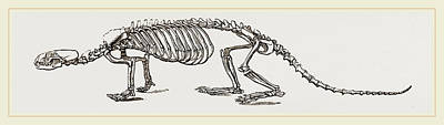 Otter Drawing - Skeleton Of European River-otter by Litz Collection