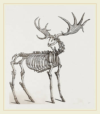 Fossil Drawing - Skeleton Of Fossil Elk by Litz Collection