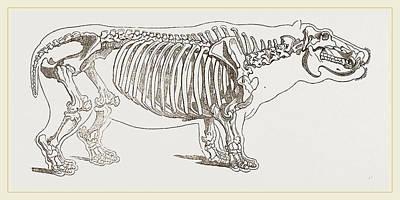 Hippopotamus Drawing - Skeleton Of Hippopotamus by Litz Collection