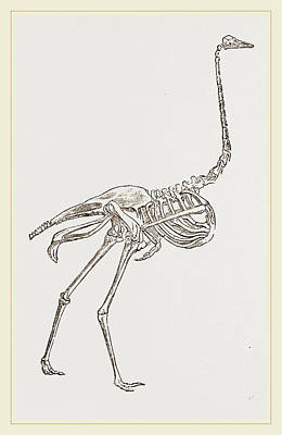 Ostrich Drawing - Skeleton Of Ostrich by Litz Collection