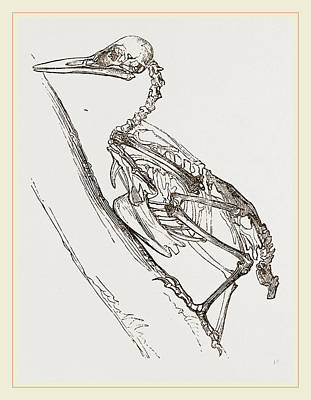 Woodpecker Drawing - Skeleton Of Woodpecker by Litz Collection