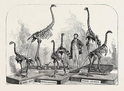Human Skeleton Drawing - Skeletons Of The Dinornis In The Canterbury Museum by New Zealand School