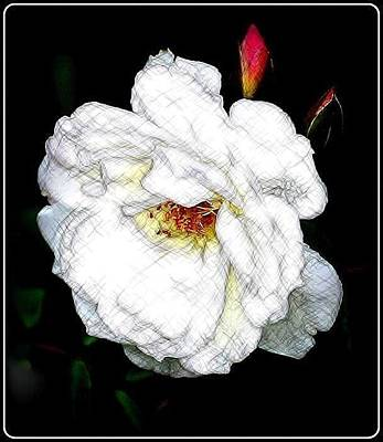 Photograph - Sketch A Rose by Kathy Sampson