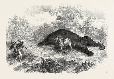 Sketches Of South African Travel The Lion And Dead Elephant Art Print by South African School