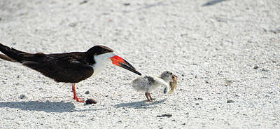 Black Skimmers Photograph - Skimmer Chick Carrying Fish by Sheila Haddad