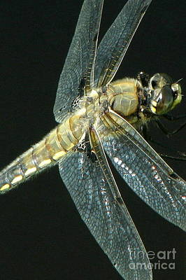 Photograph - Skimmer Macro by Frank Townsley