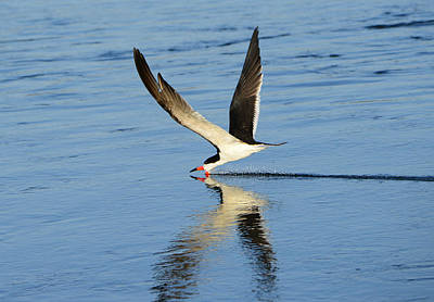Photograph - Skimmer by Patricia Dennis