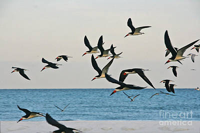 Photograph - Skimmers Flying by Joan McArthur