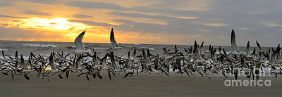 Photograph - Skimmers Gathering At Sunrise by Nancy Greenland