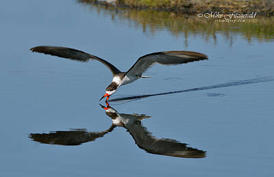 Photograph - Skimming by Mike Fitzgerald