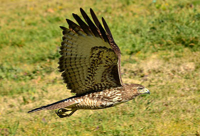 Red Tail Hawk Photograph - Skimming The Surface 2 by Fraida Gutovich