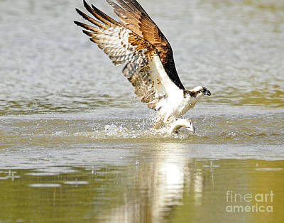 Kim Fearheiley Photography - Skimming Trout by Dennis Hammer