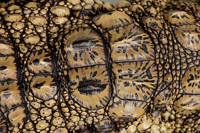Crocodile Wall Art - Photograph - Skin Of A Young Nile Crocodile by Pascal Goetgheluck/science Photo Library