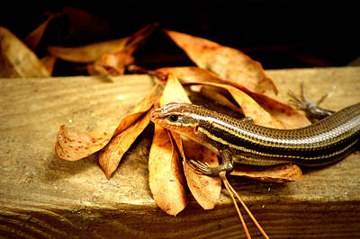Photograph - Skink by David Weeks