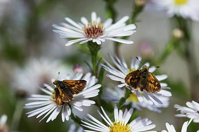 A New Beginning Photograph - Skipper Butterflies  Hesperiidae  Feed by Robert L. Potts