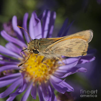 Photograph - Skipper Butterfly  by Chris Scroggins